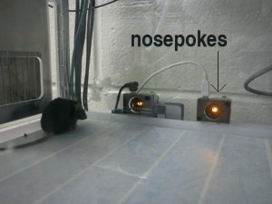 Mouse using nosepoke jpg